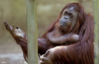 Orangutan v Zoo Buenos Aires